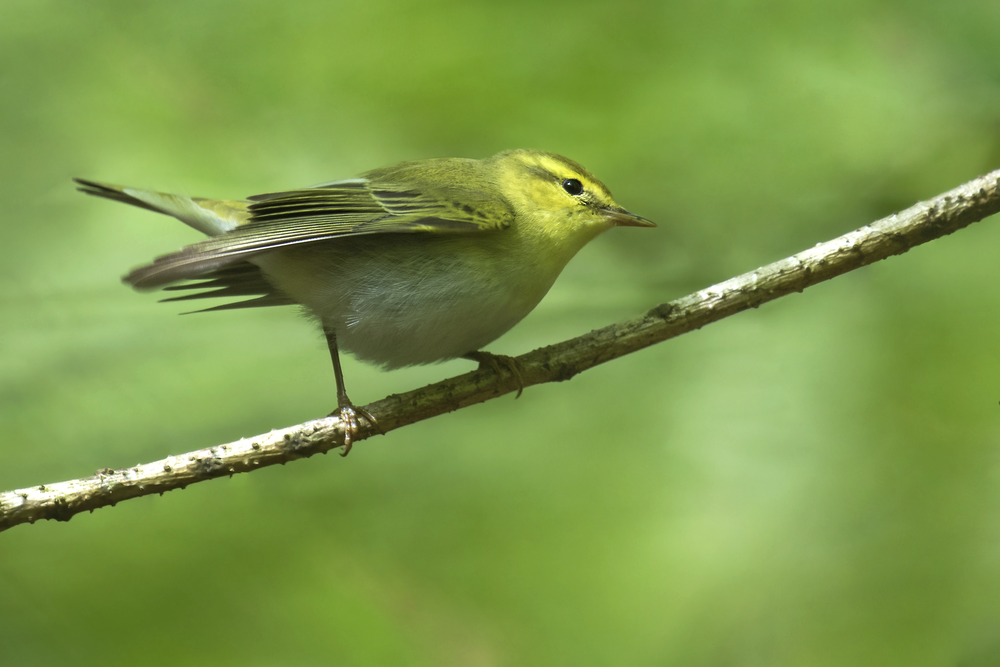 Wood Warbler 14th May