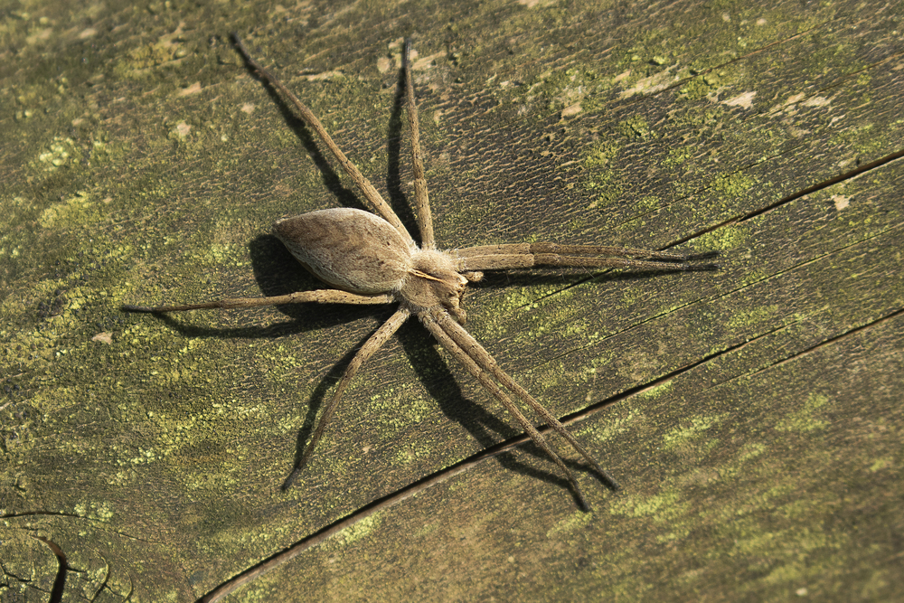 Female Nursery Web Spider