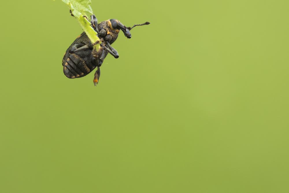 Large Pine Weevil