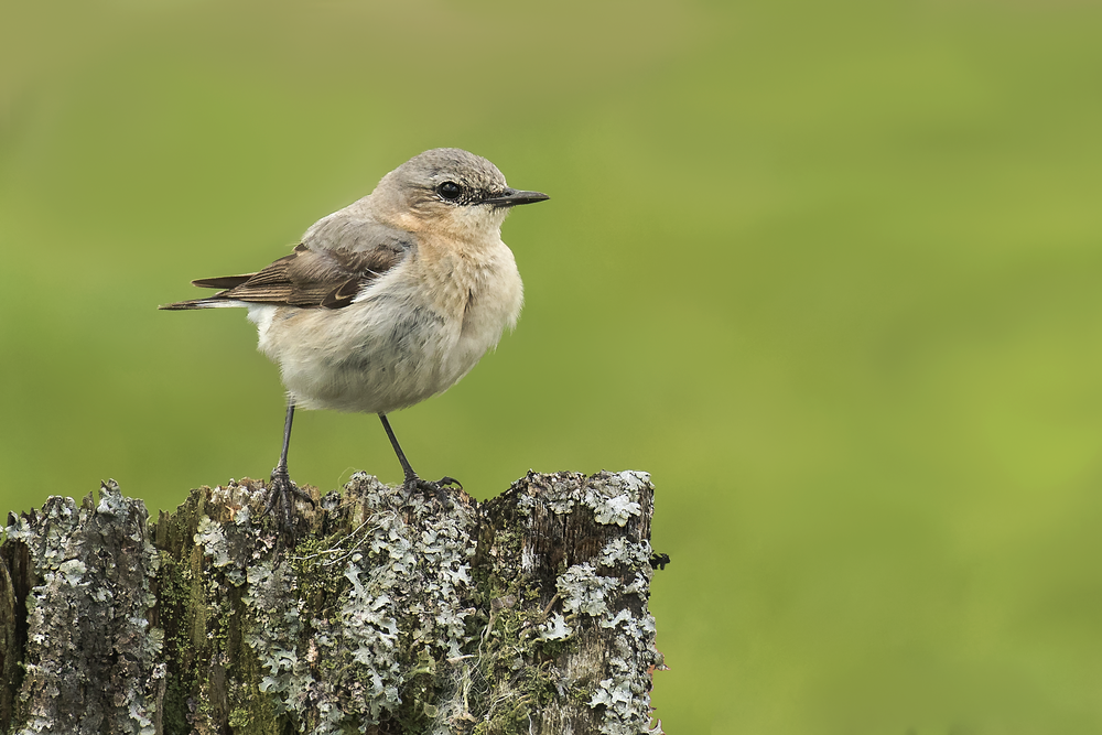 Male Wheatear Crop 20th June.png