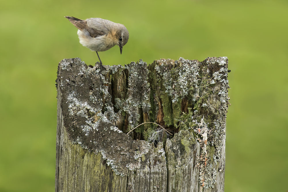 Male Wheatear 20th June.png