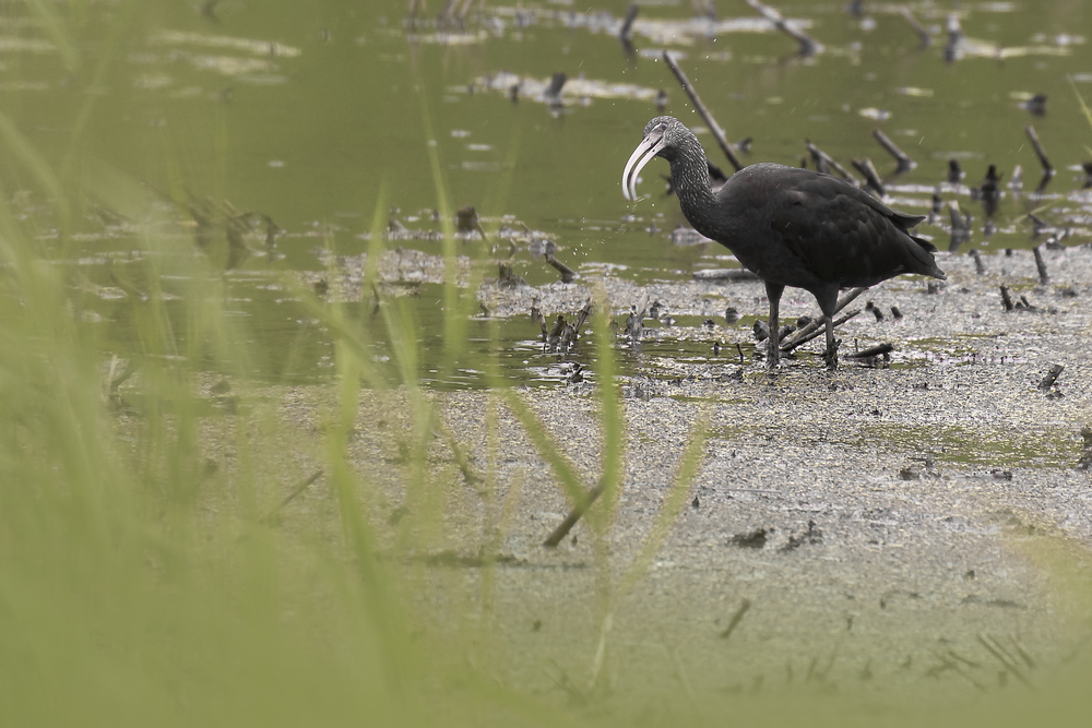 Glossy Ibis 26th June.png
