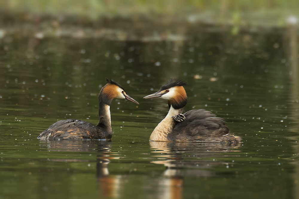 Great Crested Grebe Family 2