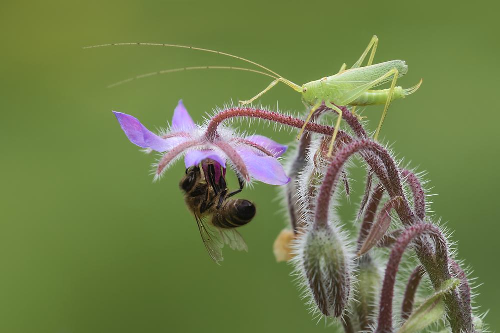 Honey Bee & Oak Bush Cricket