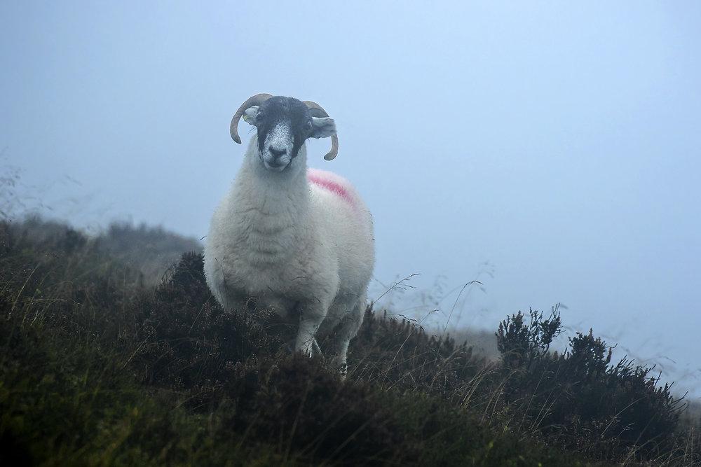 Foggy Ram