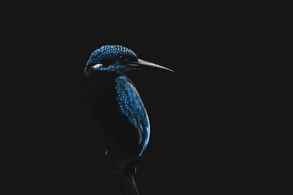 Kingfisher Neon