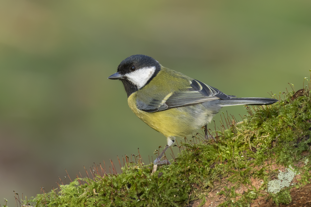 Great Tit 4th December.png