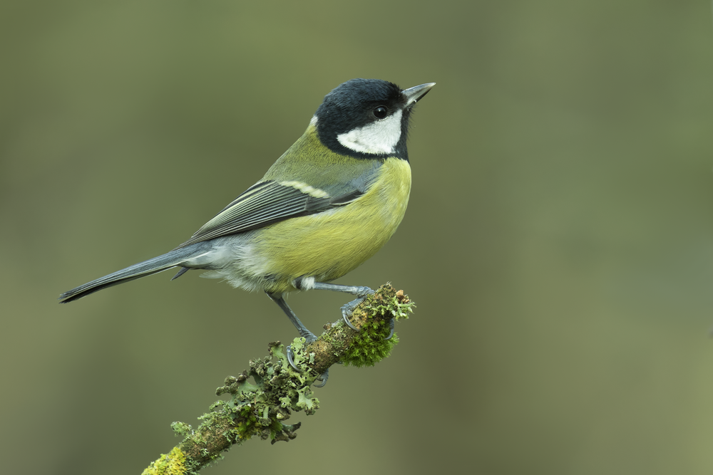 Great Tit Female 27th December.png