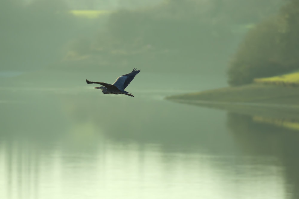 Black-lit Heron over Llandeg