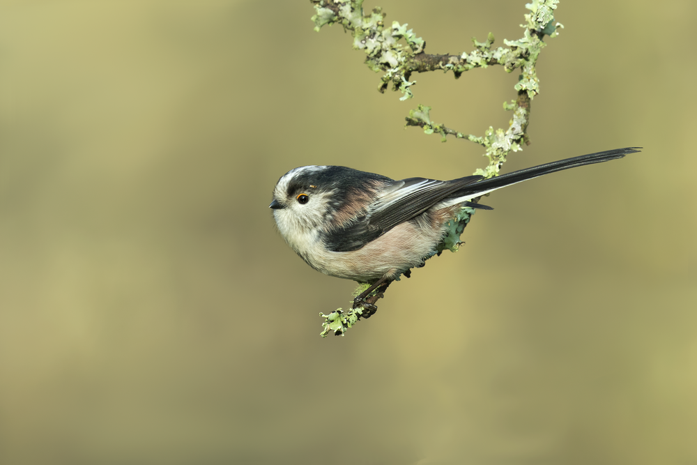Long-tailed Tit P 29th December.png