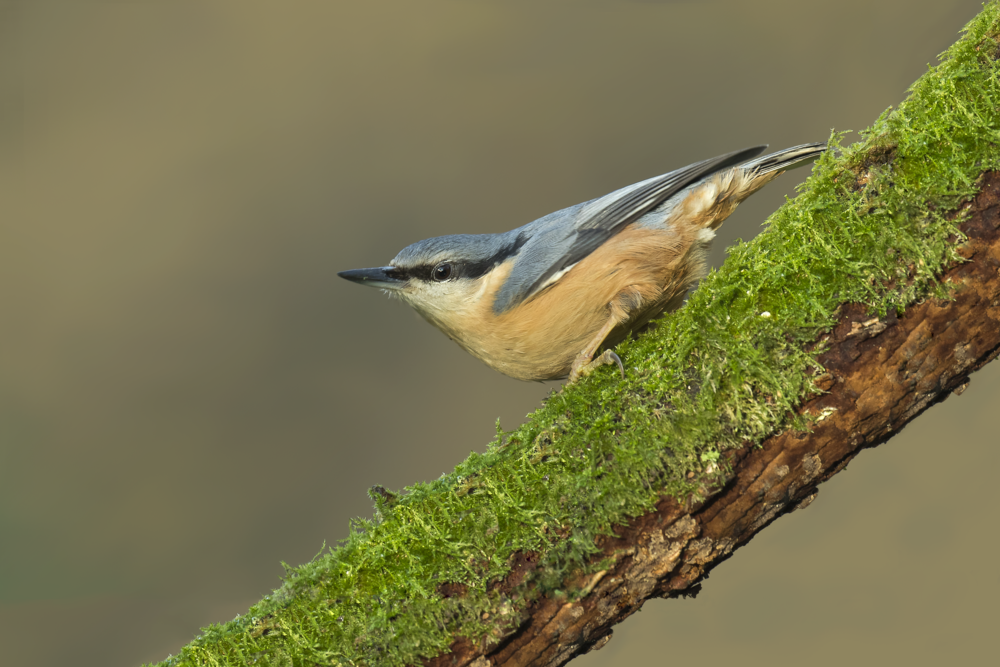 Nuthatch 29th December.png