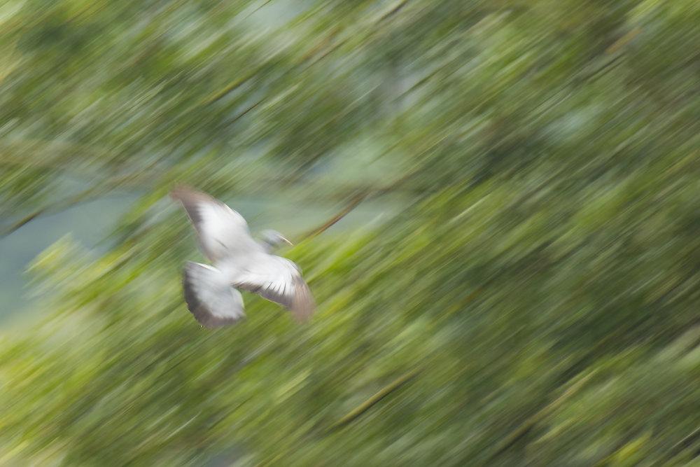 Stock Dove Art 11 September.jpg
