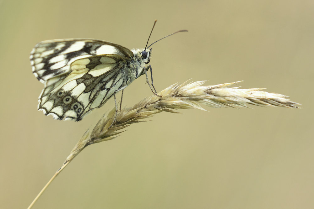 Marbled White Legs 17th July.png