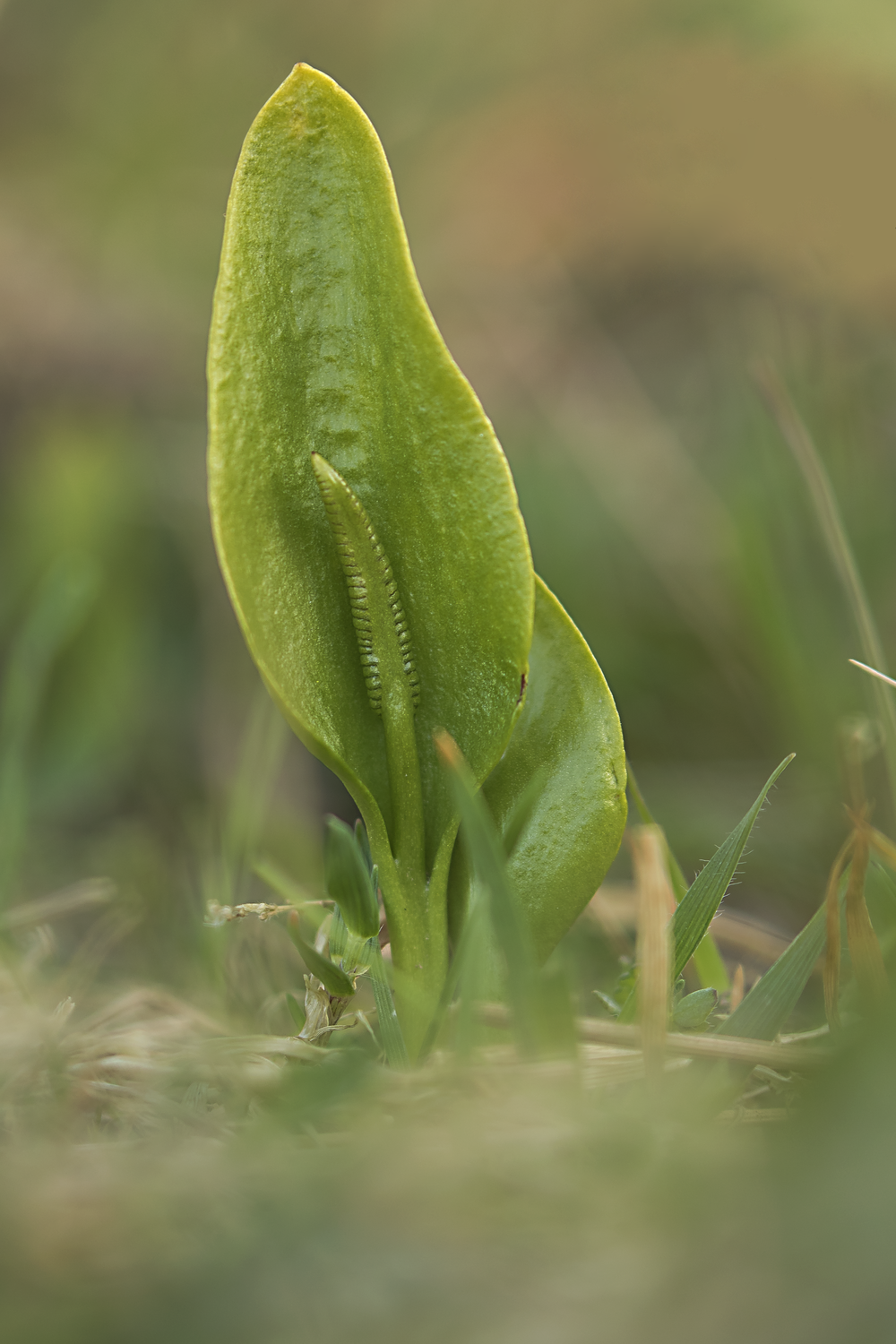 Adder's-tongue Fern.png