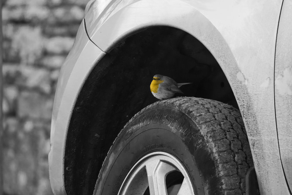 Winter Robin using car to warm up.