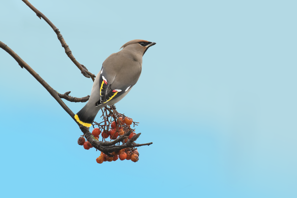 Waxwing Blue Sign Background