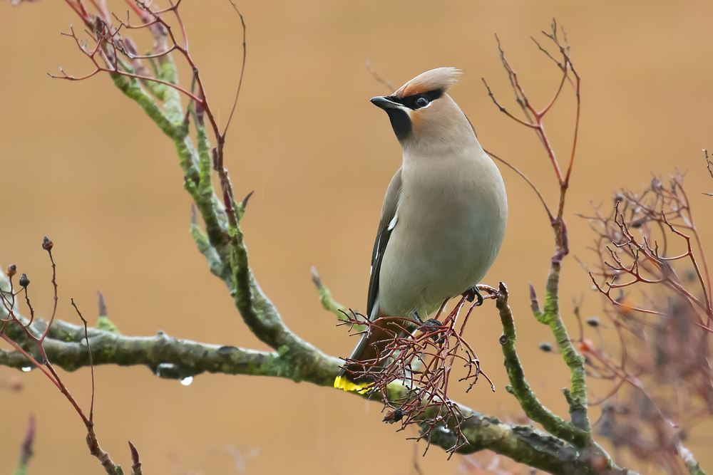 Waxwing Female 12th January.png
