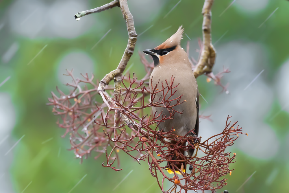 Wet Waxwing Female 12th January.png