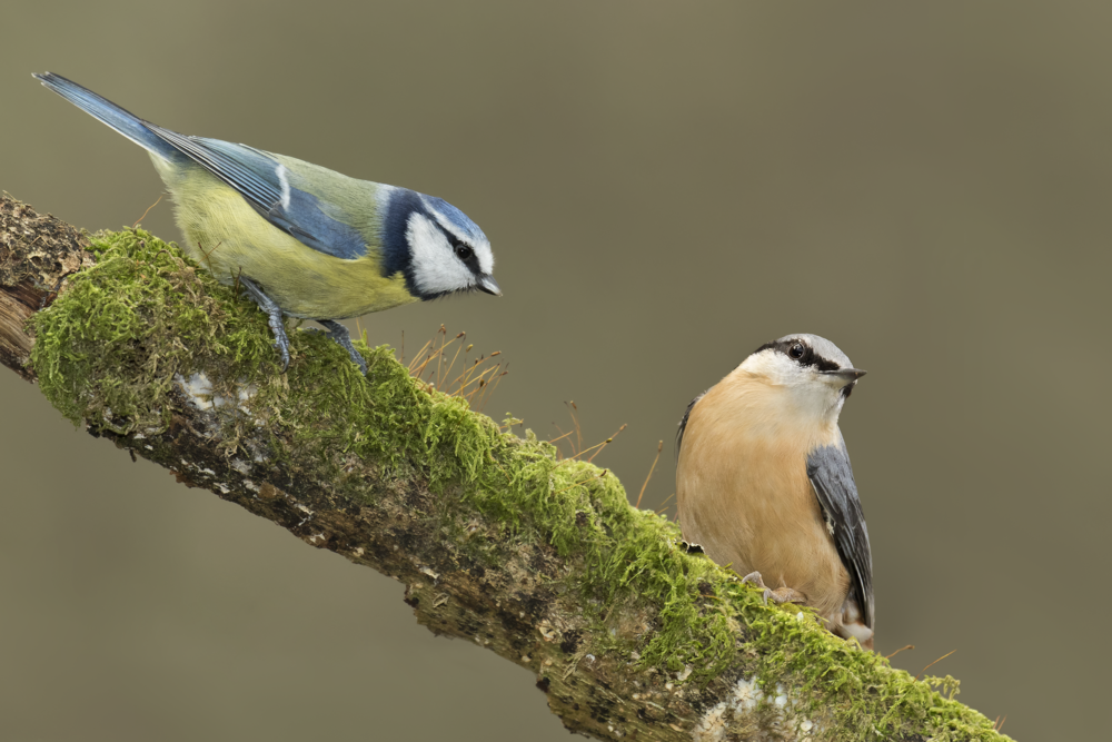 Nuthatch & Bluetit 14th January.png