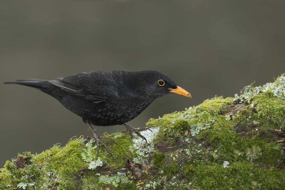 Blackbird 14th January.jpg