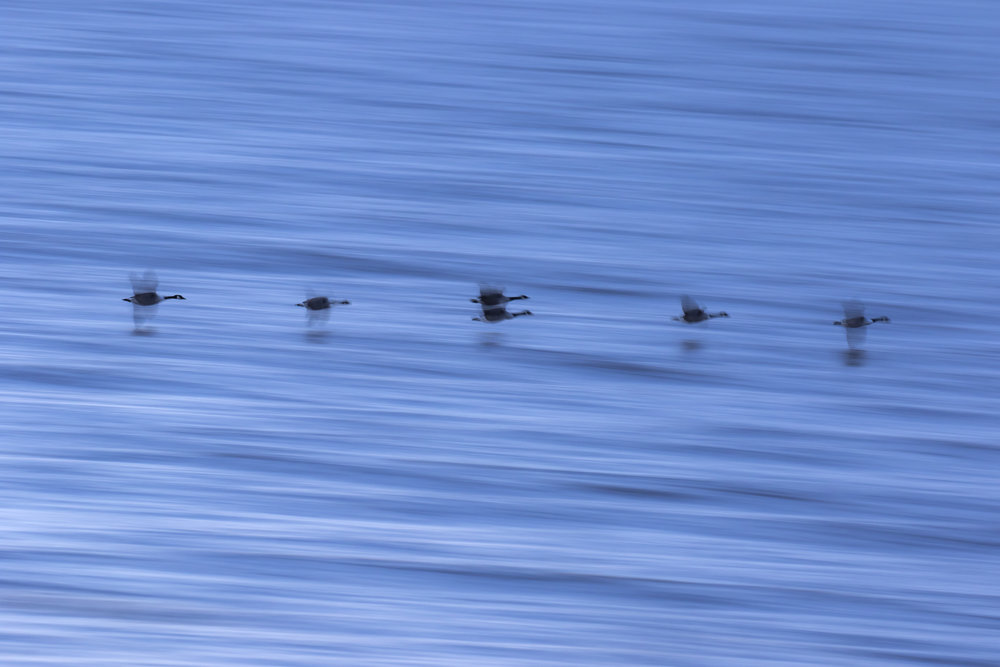 Arty Sea Geese 14th January.jpg