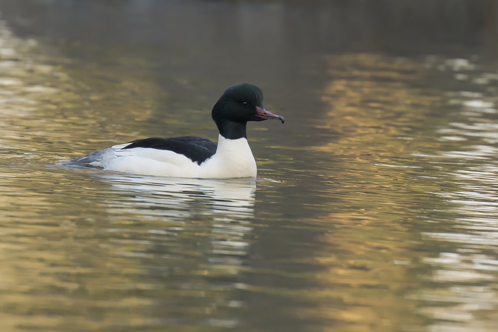 Male Goosander 21st January.png
