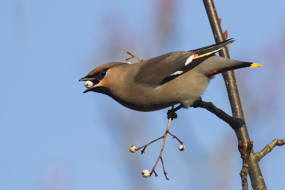 Waxwing Berry 25th January.png