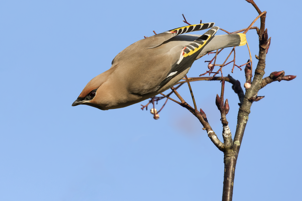 Waxwing Cwmbran 25th January.png