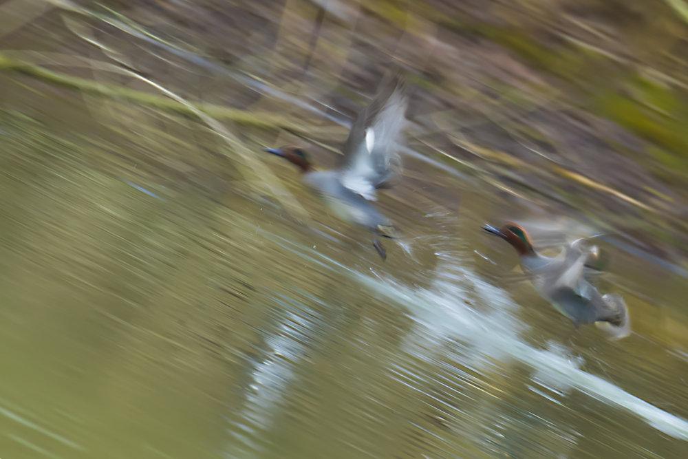 Teal Llandegfedd Reservoir
