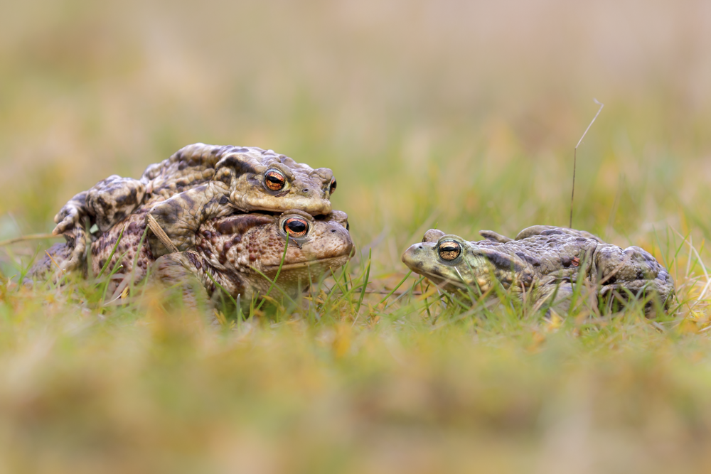 Common Toads Mating 10th March 17.png