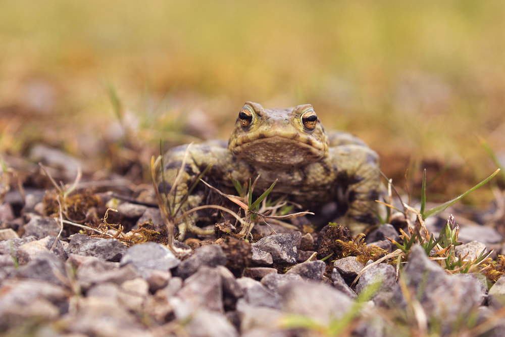 Male Toad 2 10th March.jpg