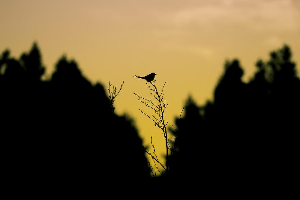 Great Grey Shrike Sunset 12th March.jpg