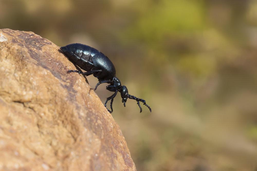 Oil Beetle Female 3rd April.jpg