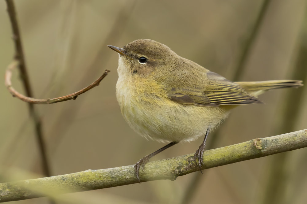 Chiffchaff Close-up 4th April.jpg