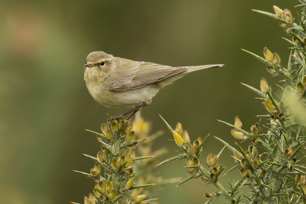 Chiffchaff Gorse 4th April.jpg