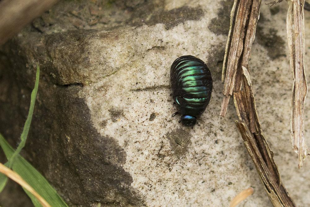 Bloody-nosed Beetle Larvae