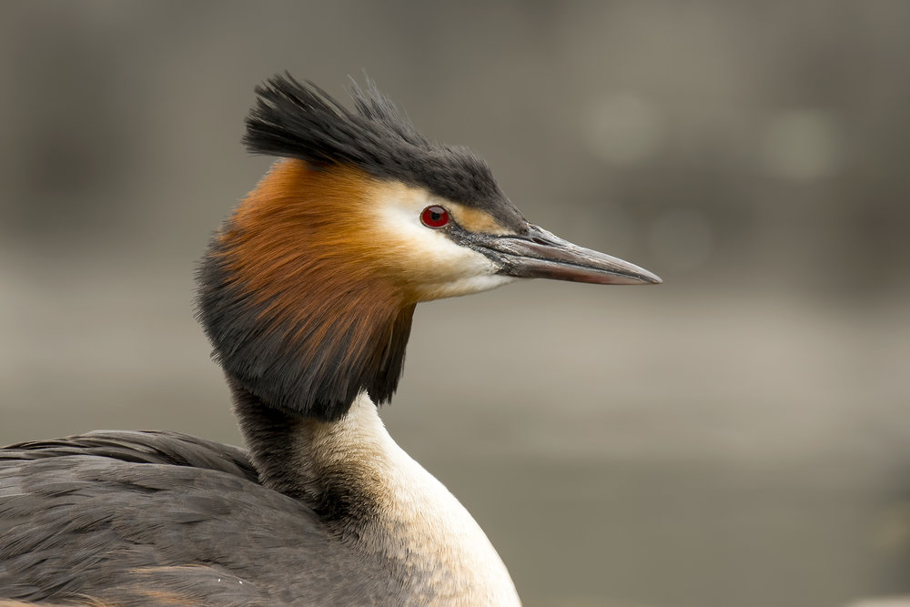 Female Great Crested Grebe 21st April.jpg