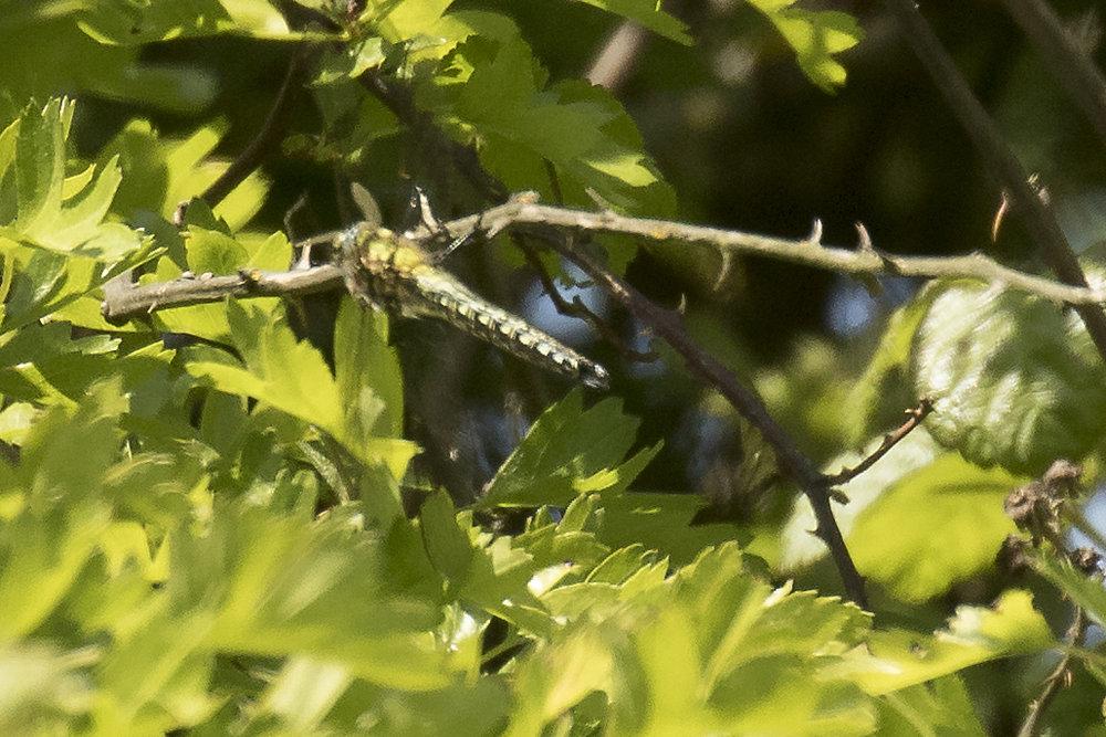 Hairy Dragonfly Record Shot.jpg