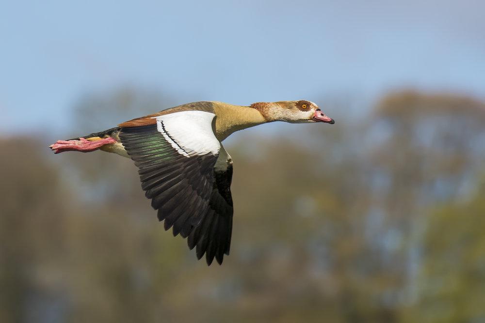 Egyption Goose Flight 26th April.jpg