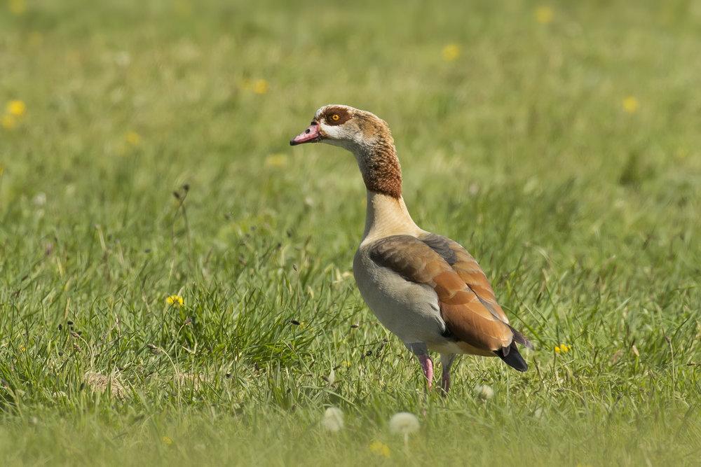 Eqyption Goose 26th April.jpg