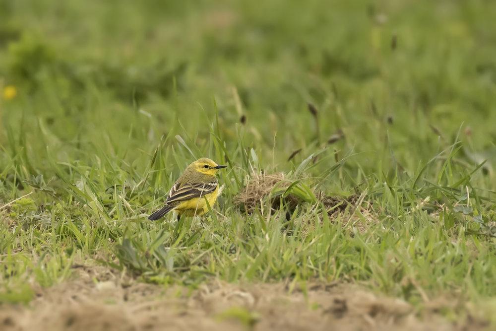 Yellow Wagtail 25th April.jpg