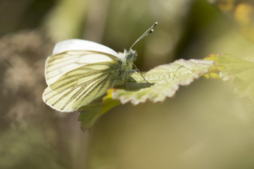 Green-veined White 15th April.jpg