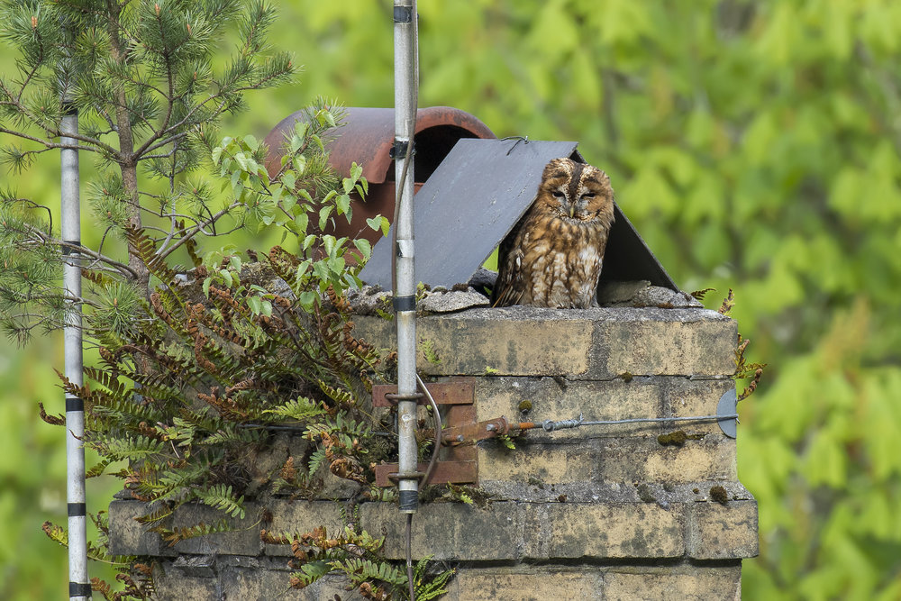 Tawny Owl Chimney Pop 2nd May.jpg