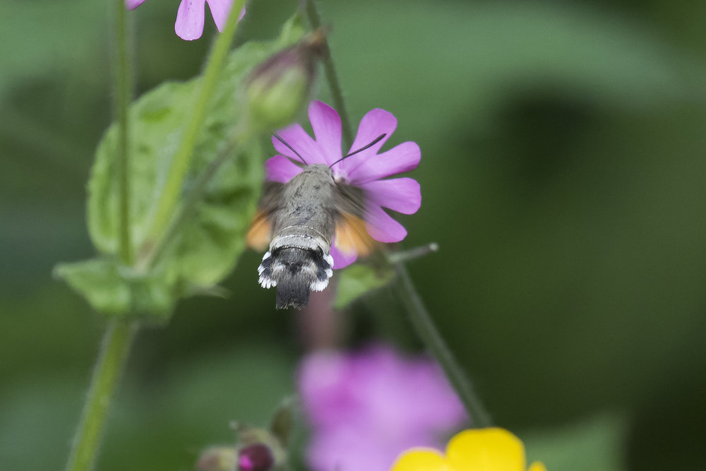 Hummingbird Hawmoth