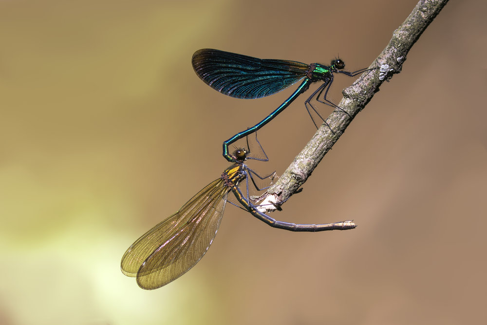 Beautiful Demoiselle Pair