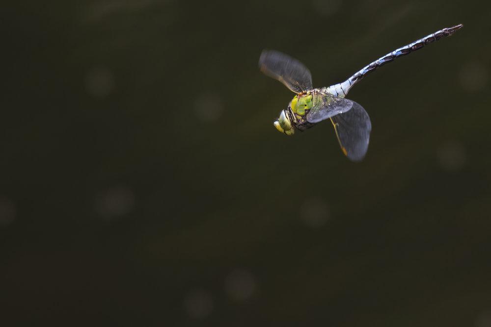 Emperor Dragonfly 26th June.jpg