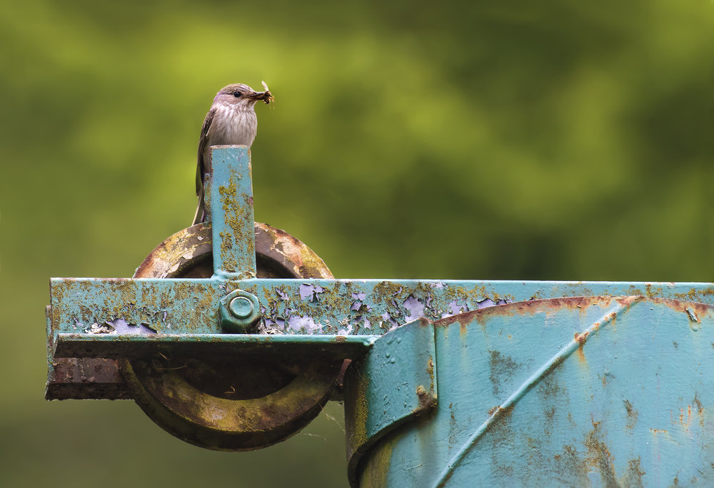 Urban Spotted Flycatcher with Fly 26th June.jpg