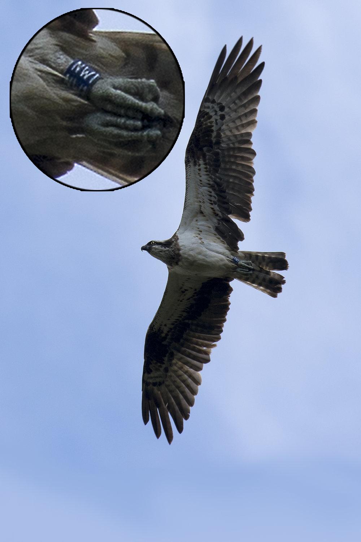 Female Osprey NW1