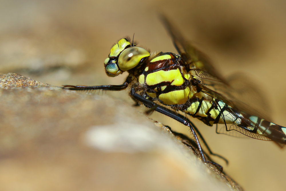 Southern Hawker 15th August.jpg