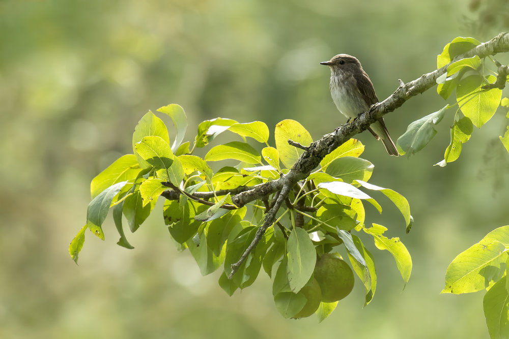 Spotted Flycatcher Apple Tree 24th August.jpg